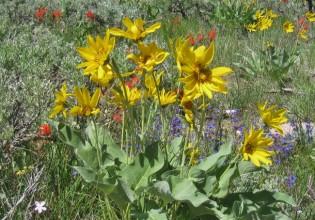 wildflowers jackson hole grand teton yellowstone