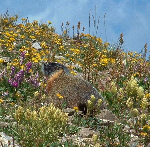 jackson hole marmot