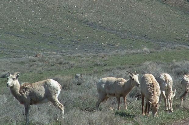 big horn sheep 8