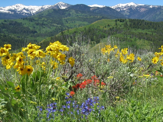 wildflowers jackson hole
