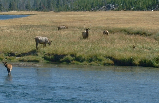 elk bugling jackson hole grand teton yellowstone