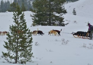 dog sled jackson hole iditarod
